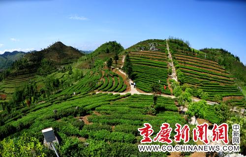 5月2日,笔者在该县木叶乡乌龙茶基地看到一些茶农正在忙碌着采茶.图片