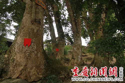 酉阳两罾千年金丝楠木群民俗生态旅游景点春节前开放